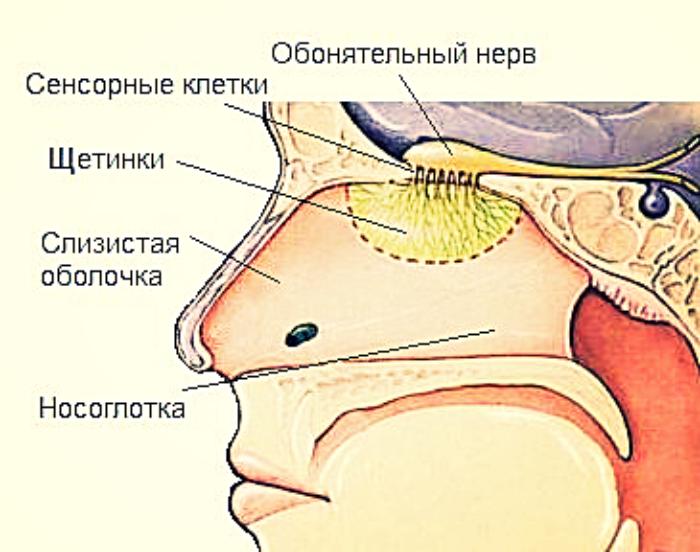 система обоняния человека