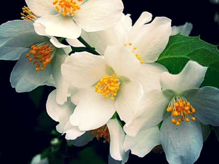 Цветы жасмина пахнут удивительно приятно